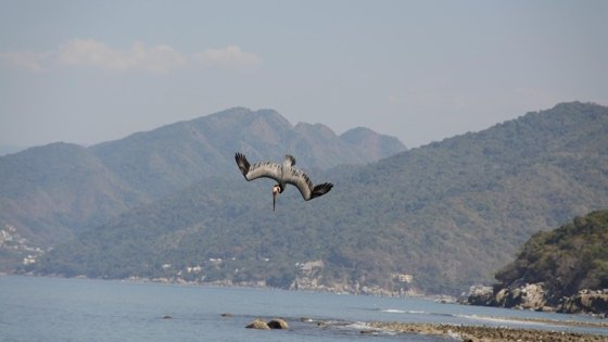 bird diving for food in water with mountains in background