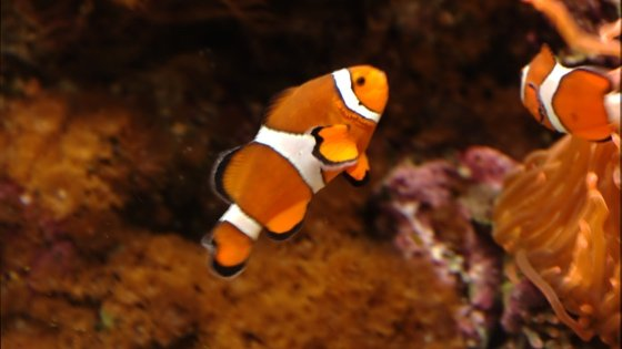 orange fish with white stripes