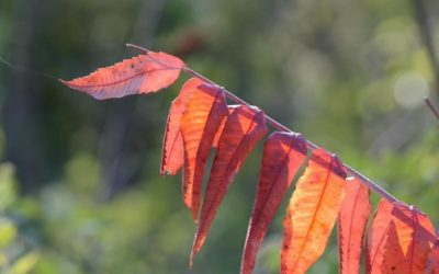 red orange leaves