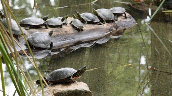 turtles in pond on log