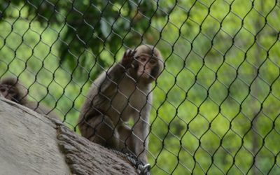 monkey behind fence